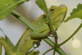Green Crested Lizard — Stock Photo