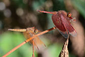 Dragonfly Pair — Stock Photo