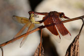 Dragonflies Mating — Stock Photo