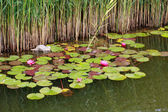 Water lilies and reed — Stock Photo