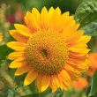 Sun Flower — Stock Photo #13405542