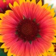Stock Photo: Beautiful orange yellow margerite flower