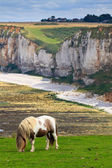 Pferd auf klippen in der nähe von etretat und fécamp, normandie, frankreich — Stockfoto
