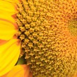 Stock Photo: Sun Flower Close Up