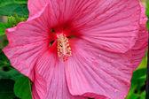 Pink Hibiscus Flower — Stock Photo