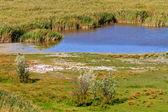 Reed Belt Landscape in National Park — Stock Photo