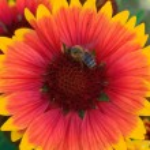 Bee on beautiful orange yellow margerite flower — Stock Photo