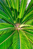 Palm tree closeup on the leaves — Stock Photo