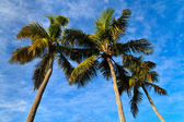 Palm trees before blue sky — Stock Photo
