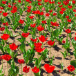 Red tulips spring field — Stock Photo