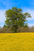 Tree and yellow Flower Meadow — Photo