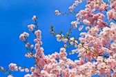 Spring cherry blossoms (pink) and blue background — Stock Photo