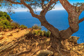 Old Tree and scenic ocean view near Cassis in Southern France — Stock Photo