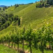 Stock Photo: StyriTuscany Vineyard near Leutschach, Styria, Austria