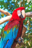 Red blue Ara parrot portrait — Stock Photo