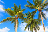 Palm trees against a blue sky — Stock Photo