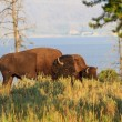 Stock Photo: Buffalos (Bisons) in high grass in Yellowstone National Park, Wy