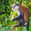 Mona Monkey With Banana — Stock Photo