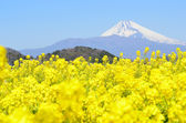 Rape blossoms and Mt Fuji — Stock Photo