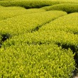 Tea garden in Japan - Stock Photo