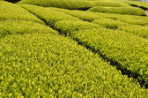 Tea garden in Japan — Stock Photo