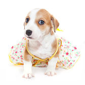 Jack Russell Terrier in a dress — Stock Photo