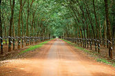 Rubber trees at Vietnam — Stock Photo