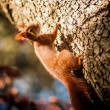 Red squirrel sitting on the tree — 图库照片