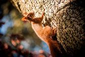 Zrzavá veverka sedí na stromě — Stock fotografie