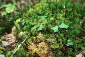 Forest Moss — Stock Photo