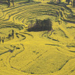 China   yunnan  province    luoping    rape  field - Stockfoto