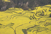 China yunnan province luoping rape field — Stock Photo