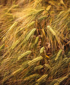 Golden ears of ripening barley — Stock Photo