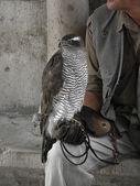 Bird of prey and handler — Stock Photo