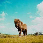 Shetland pony in a field — Stock Photo