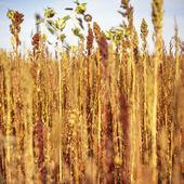 Flowering wild grasses — Stock Photo