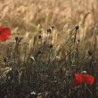 Poppy's in Field of Wheat, Suffolk — Stock Photo #27763083