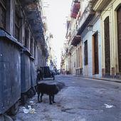 Dog, Havana, Cuba — Stock Photo