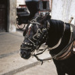 Stock Photo: Horse in harness