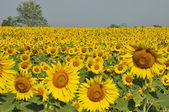 Sunflower field with sky, Thailand — 图库照片