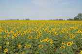 Sunflower field with blue sky, Thailand — Stock Photo