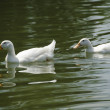 Two White Pekin Ducks in a pond — Stock Photo #13969434