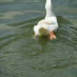 back of a white pekin duck in a pond — Stock Photo