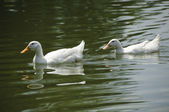 Two White Pekin Ducks in a pond — Stock Photo