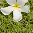 White plumeria flower on green grass — Stock Photo