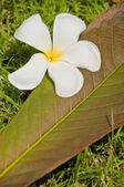White plumeria flower with leave — Stock Photo
