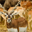 Stock Photo: Blackbuck