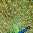 Stock Photo: Indipeafowl