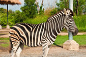 One Zebra — Stockfoto
