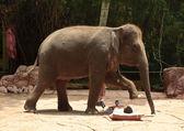 Asian Elephant or Elephas maximus show — Stock Photo